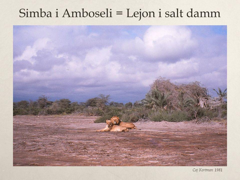 Simba i Amboseli = Lejon i salt damm