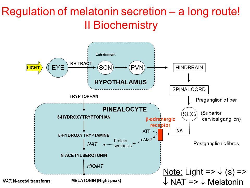 Regulation of melatonin secretion – a long route! II Biochemistry