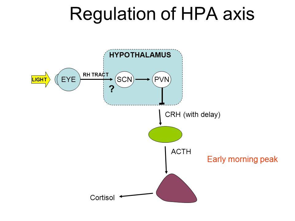 Regulation of HPA axis Early morning peak HYPOTHALAMUS EYE SCN PVN