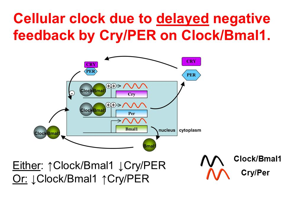 Cellular clock due to delayed negative feedback by Cry/PER on Clock/Bmal1.