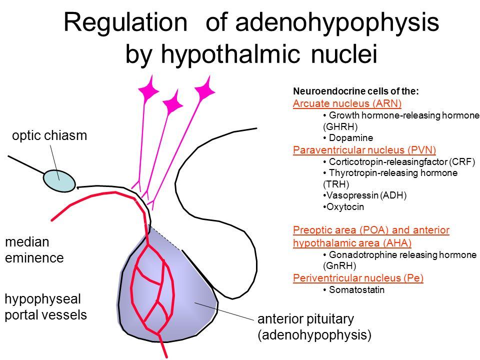 Regulation of adenohypophysis