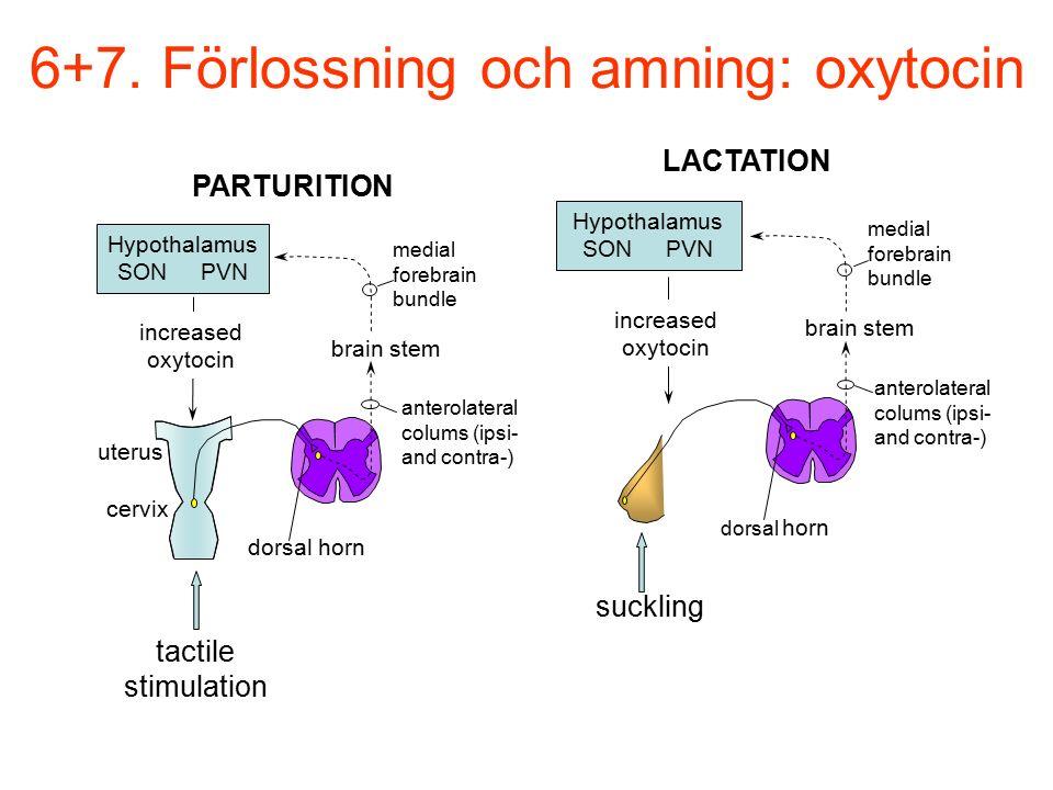 6+7. Förlossning och amning: oxytocin