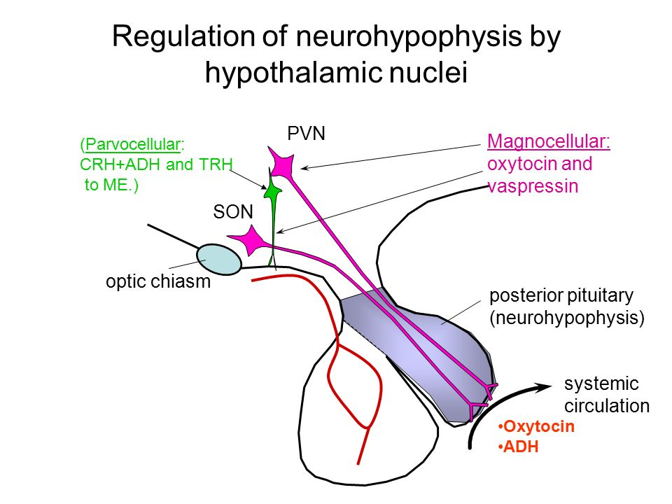 Regulation of neurohypophysis by hypothalamic nuclei