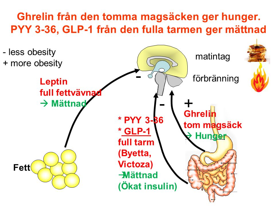 Ghrelin från den tomma magsäcken ger hunger