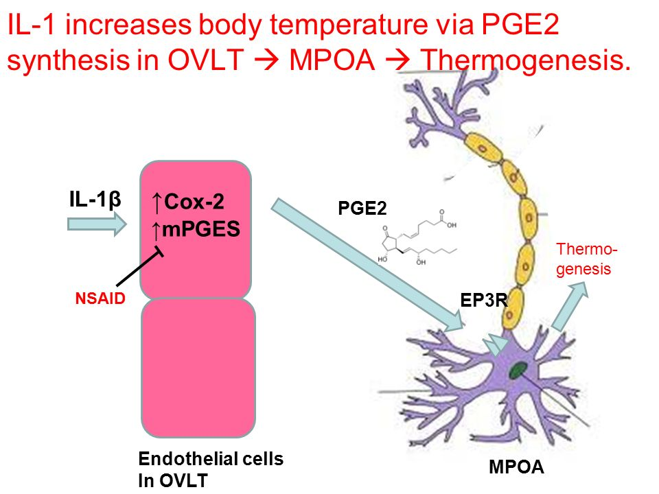 IL-1 increases body temperature via PGE2 synthesis in OVLT  MPOA  Thermogenesis.