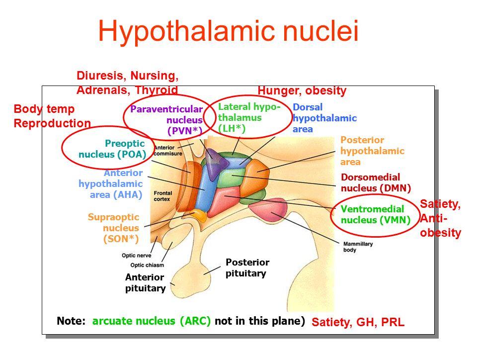 Hypothalamic nuclei Diuresis, Nursing, Adrenals, Thyroid