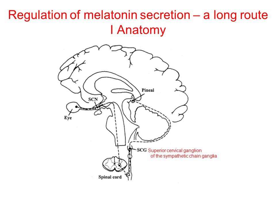 Regulation of melatonin secretion – a long route I Anatomy