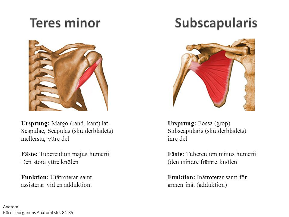 Teres minor Subscapularis