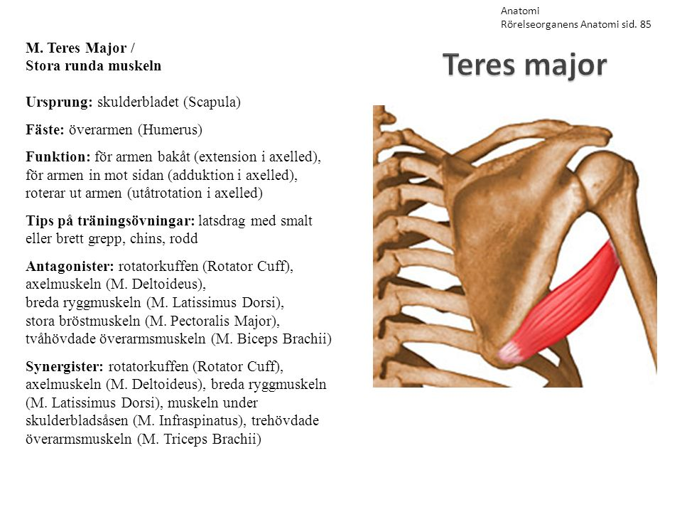 Teres major M. Teres Major / Stora runda muskeln