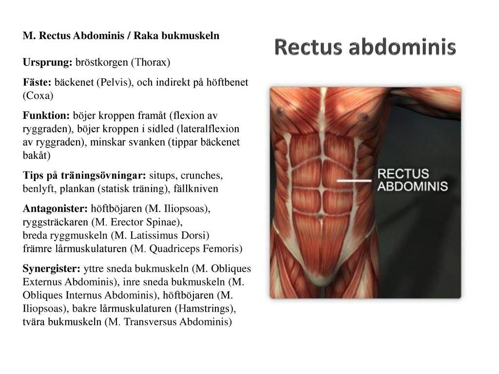 Großartig Funktion Von Muskeln Zeitgenössisch - Anatomie Ideen ...