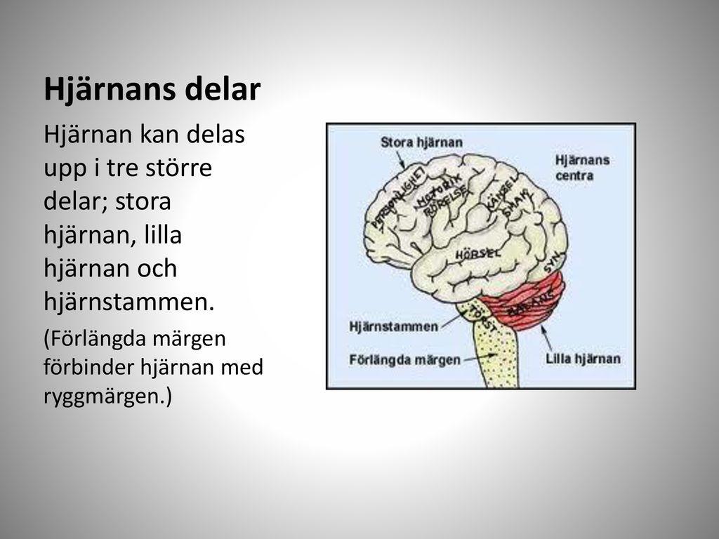 lilla hjärnan funktion