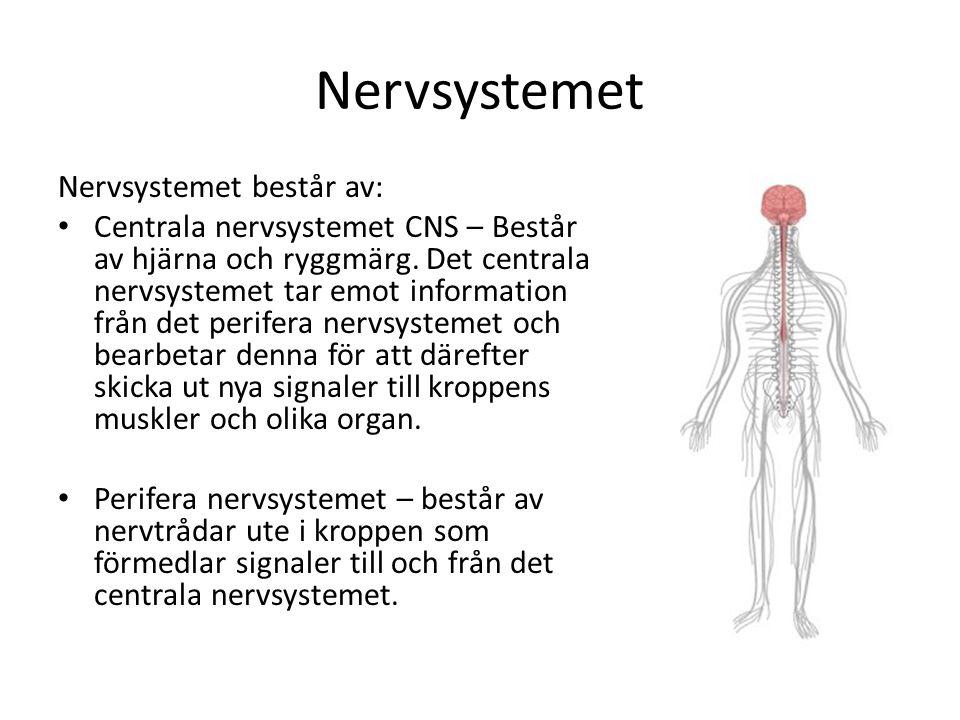 vilka delar ingår i det centrala nervsystemet