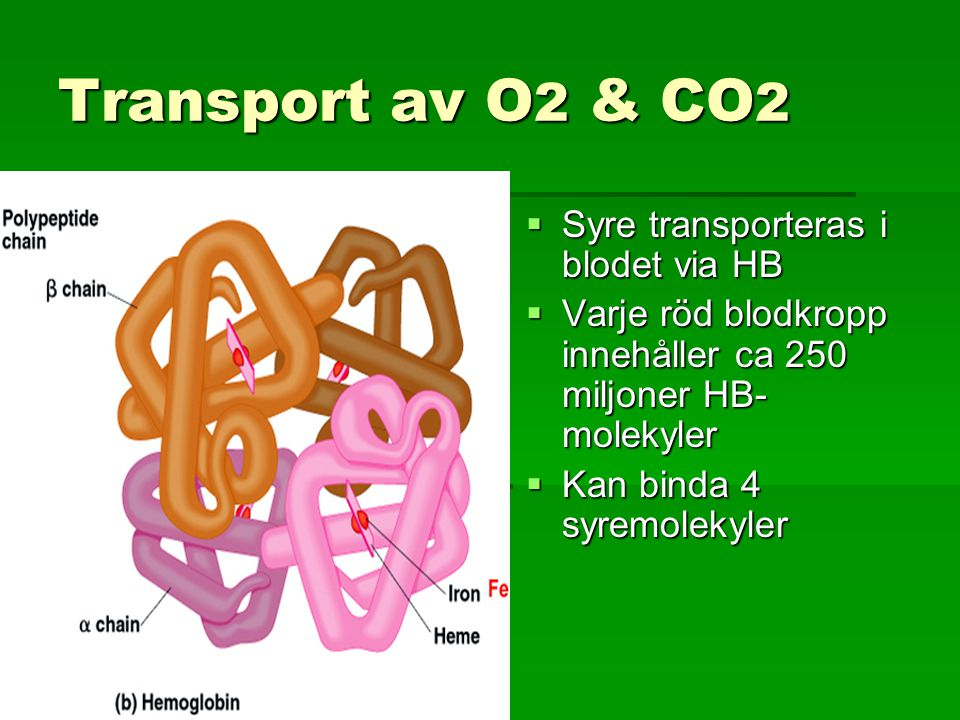 Transport av O2 & CO2 Syre transporteras i blodet via HB