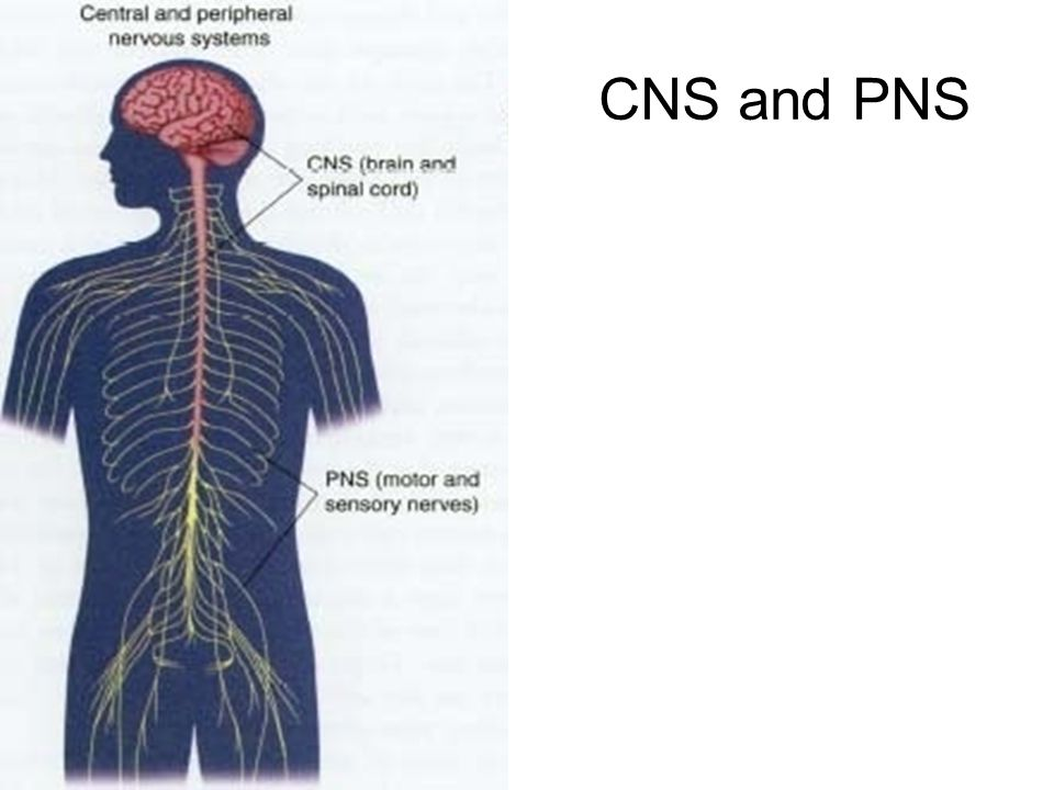 CNS and PNS 8