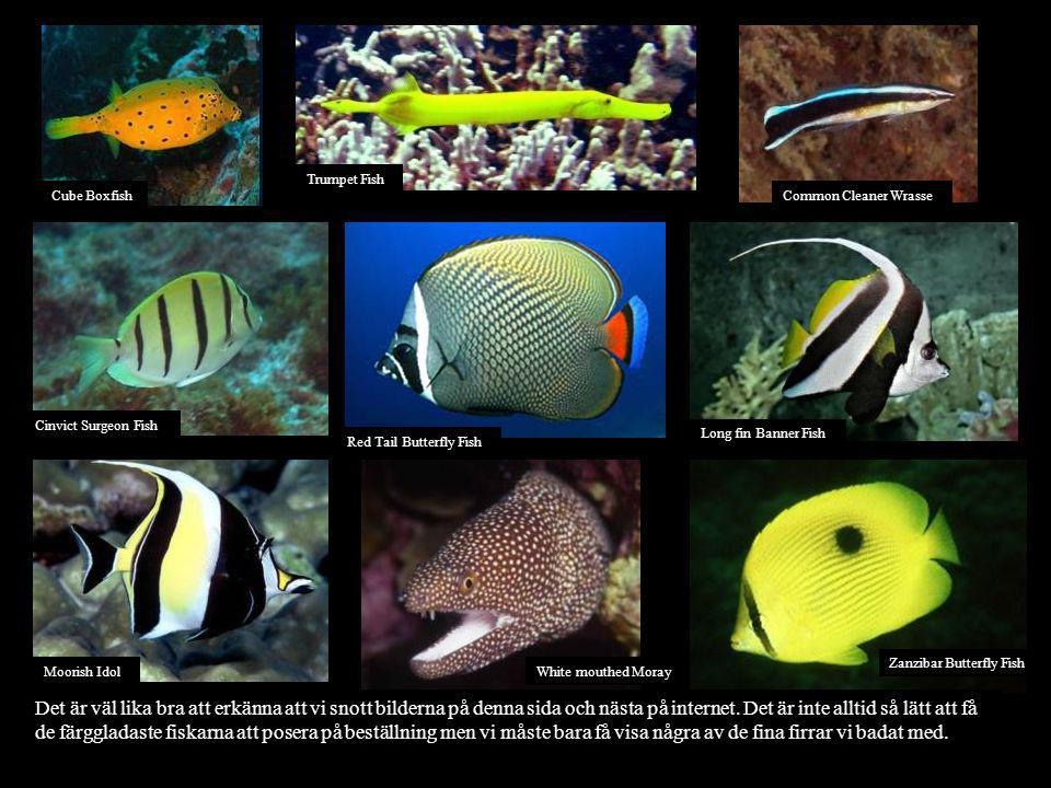 Trumpet Fish Cube Boxfish. Common Cleaner Wrasse. Cinvict Surgeon Fish. Long fin Banner Fish. Red Tail Butterfly Fish.