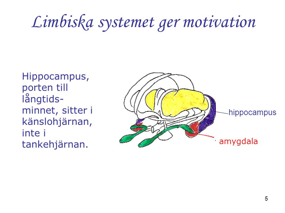 Limbiska systemet ger motivation