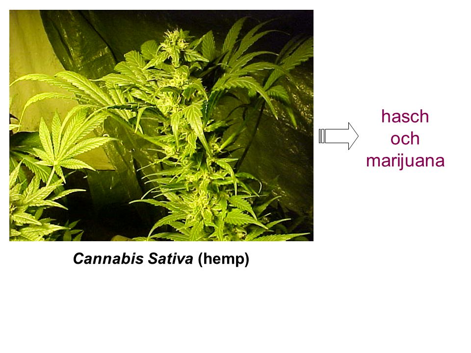 Cannabis Sativa (hemp)