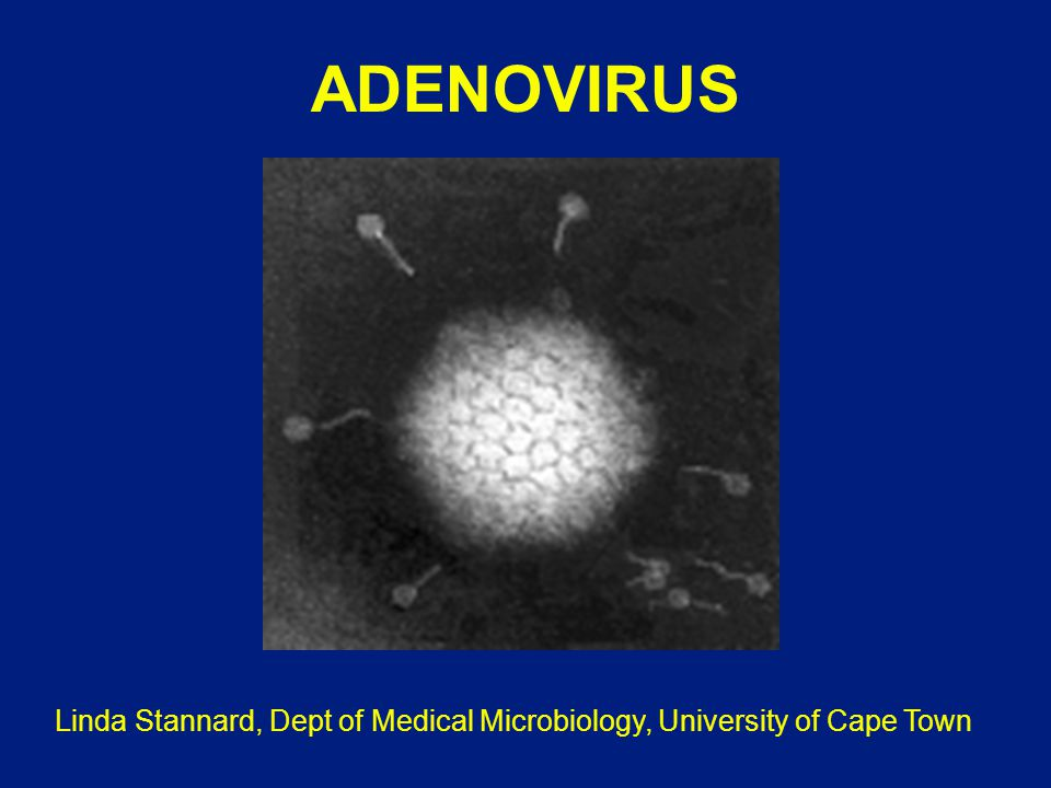 ADENOVIRUS Linda Stannard, Dept of Medical Microbiology, University of Cape Town