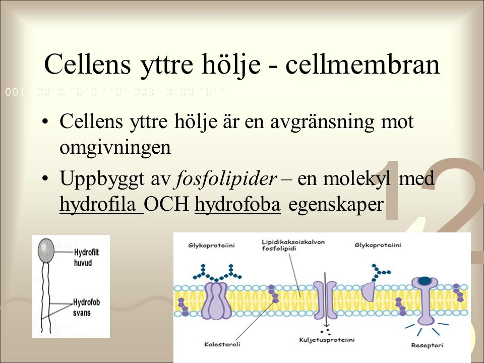 Cellens yttre hölje - cellmembran