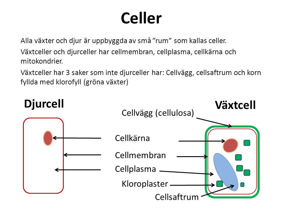 Celler Djurcell Växtcell Cellvägg (cellulosa) Cellkärna Cellmembran